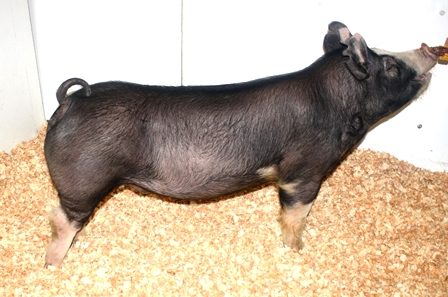 Berkshire Show Pigs Images & Pictures - Becuo